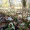 Gyönyörűen díszlik a hóvirágmező, az Aranyosszigeti erdőben, Mosonmagyaróvár 2017. március 07.-én 2