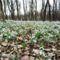 Gyönyörűen díszlik a hóvirágmező, az Aranyosszigeti erdőben, Mosonmagyaróvár 2017. március 07.-én 3