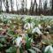 Gyönyörűen díszlik a hóvirágmező, az Aranyosszigeti erdőben, Mosonmagyaróvár 2017. március 07.-én 5