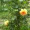 narancs sárga rózsa
