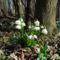 Nőnapi köszöntő, a Tavaszi tőzike (Leucojum vernum L.), 2017. március 04