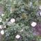 rózsaszin rózsa
