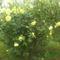 sárga rózsa május