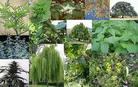 Allergén növények