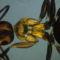 fekete hangya polarizációval