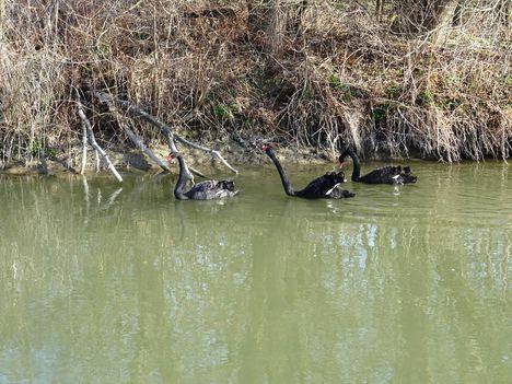 Fekete hattyúk a Lajta folyón a Mosonmagyaróvár és Hegyeshalom közötti szakaszon, 2017. március 16.-án 1