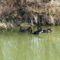 Fekete hattyúk a Lajta folyón a Mosonmagyaróvár és Hegyeshalom közötti szakaszon, 2017. március 16.-án