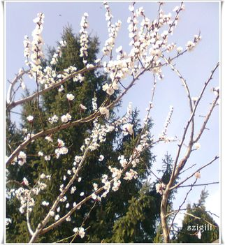 virágba borult a barackfa  2017-03-25-én