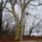 A régi Márialigeti öntözőrendszer vízkivételi helyén álló öreg platán fa, a Lajta folyó bal partján,  Hegyeshalom 2017 január 27 (8)