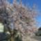Japáncseresznye fa