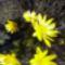 Mezei virág