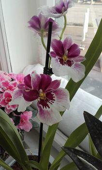 Orchidea 8
