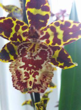 Orhideák 7