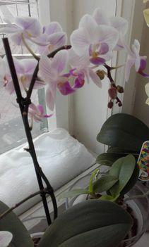 Orhideák 9