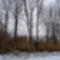 Hódrágás miatt kiszáradt nyárfák a Szigetközi hullámtéri vízpótlórendszerben, 2017. január 31.-én