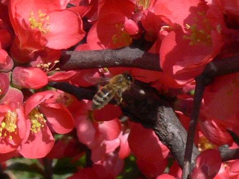 Japánbirs méhecskével