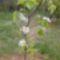 Kőrtefa