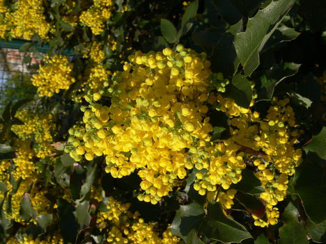 Mahónia virágja