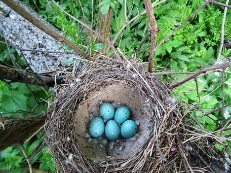 Öt kék színű tojást rakott a héten az énekes rigó,  Szigetköz 2017 április 12.-én