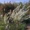 Telt-virágú kökénylevelű gyöngyvessző, Spiraea prunifolia