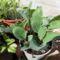 Zeller, hagyma és karfiol cserépben