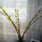 Az aranyvessző vázában már szépen virágzik, Halászi 2017. január 23.-án. 1