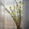 Az aranyvessző vázában már szépen virágzik, Halászi 2017. január 23.-án. 2