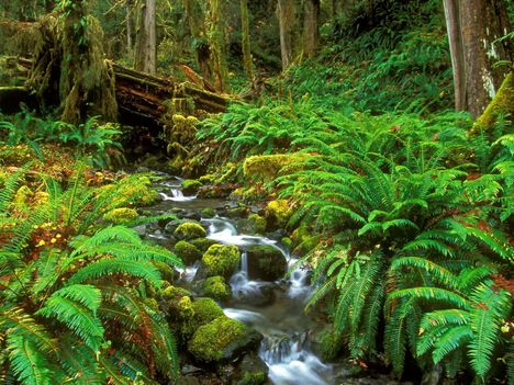 Rainforest Stream Olympic National Park Washington