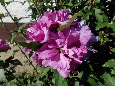 Telt virágú hibiszkusz