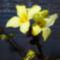 Vázában már kivirágzott az aranyvessző, Halászi 2017. január 26.-án