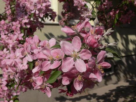 Díszalma virágai