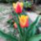 Késői tulipán