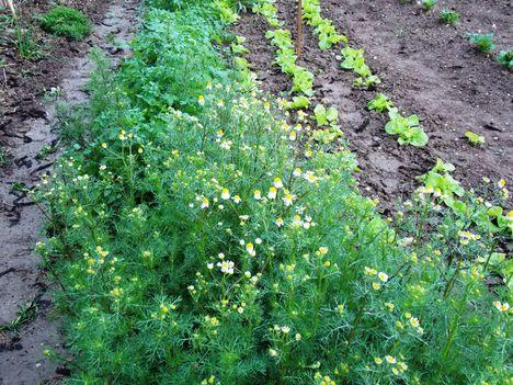 Kamilla a zöldségeskert sarkán...