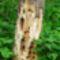 A korhadt fa újabb élőhelyet biztosít más élőlények számára, Szigetköz 2017. május 15.-én