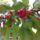 Cseresznye-002_2034558_1493_t