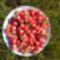 Tegnap szedtem a cseresznyét