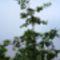 Virágzik az éger fa, Dunasziget, 2017. május 05.-én 2