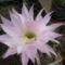 Echinopsisom