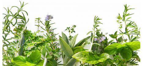 gyógynövények 1