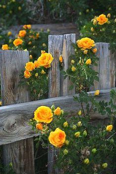 Elnyíltak már a rózsák...Dáma Lovag Erdős Anna verse