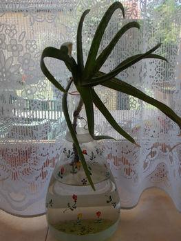 Aloe vera, a víztisztító.