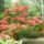 Rhododendron-002_239914_65885_t