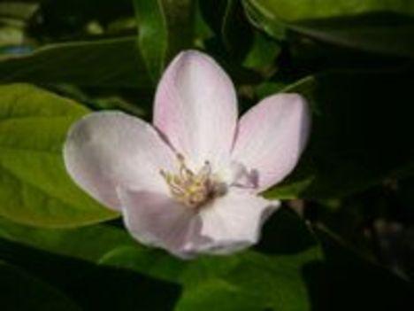 Birsvirág