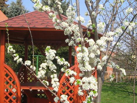 cseresznyevirágzás 2009