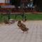 Kacsák