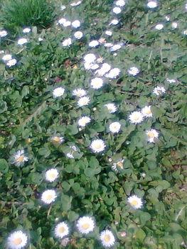 Kép010 Mezei virág