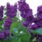 Koratavasz virágai. lilaorgona