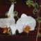 Lepkeorchidea_2003240_1969_s