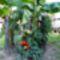 Paradicsom a banán mellett