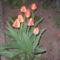 tulipán 2009